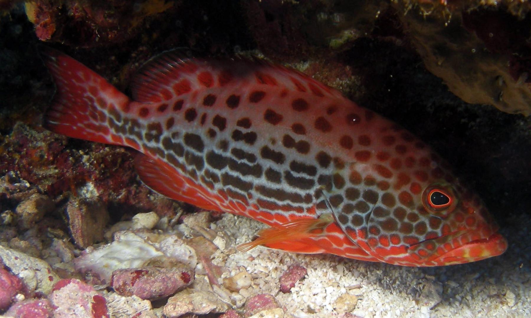 Grouper in Costa Rica
