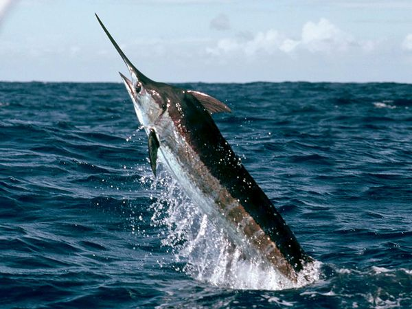 Marlin – The Tropical Sporting Fish