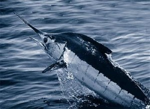 Marlin1