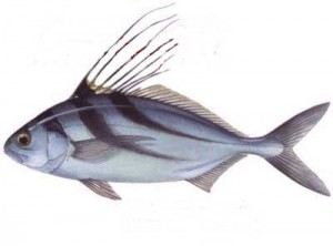 Roosterfish - The Majestic Fish of Costa Rica1