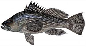 Sea Bass1