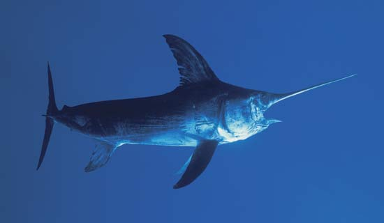 Swordfish in Costa Rica