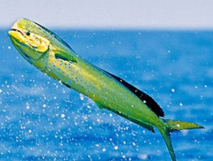 Mahi Mahi Dolphin Fish Dorado Bull Jumping