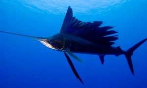 The Pacific Sailfish 1