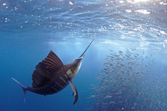 The Pacific Sailfish